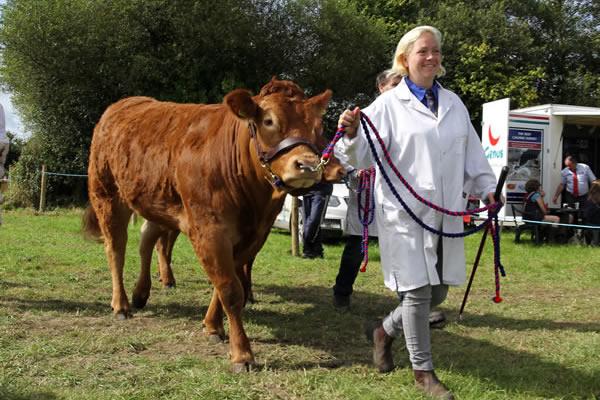 Sioe Llandysul 2017 - handler and cow