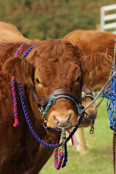 Sioe Llandysul 2017 - big brown cow